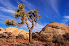 Yucca, Joshua Tree Nationalpark, Kalifornien, USA, Morgenlicht