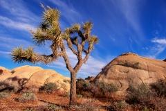 Yucca, Joshua Tree Nationalpark, Kalifornien, USA, Morgenlicht