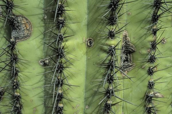 Saguaro-Detail