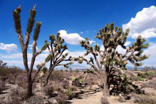 Yucca Bäume